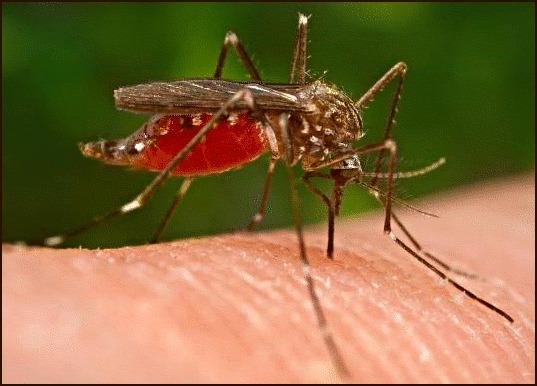 Комары не выносят запаха пахучих трав: базилика, аниса.