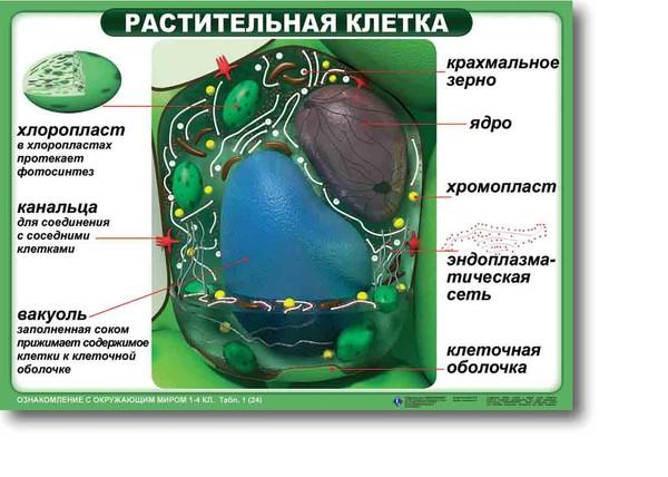схема строения растительной