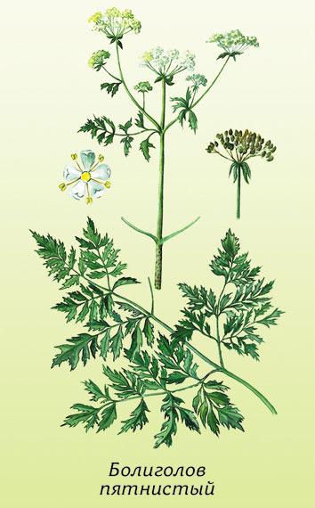 Народные названия: болиголов крапчатый, вонючая трава.  24.09.2011. itachi.  Лекарственные растения.