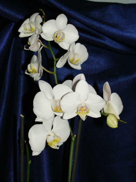 Наши орхидеи I-2791