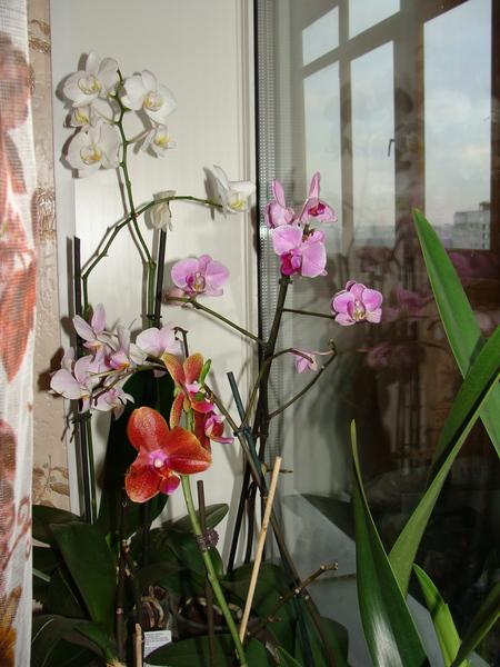 Наши орхидеи I-3118