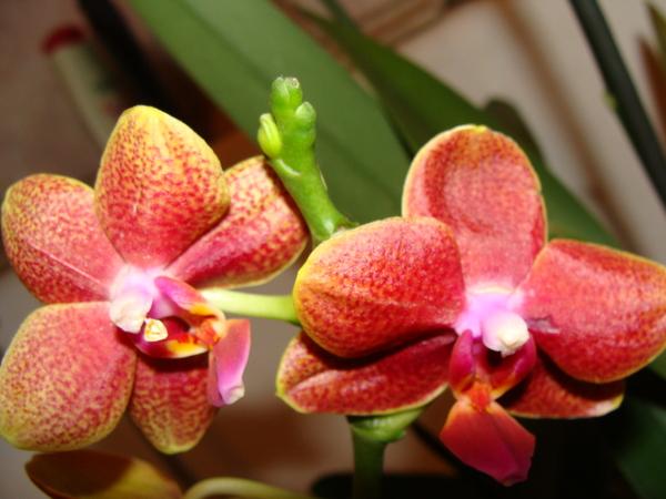 Наши орхидеи I-3138