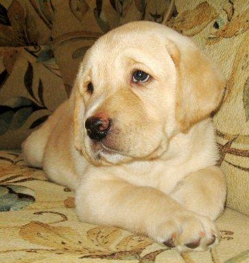 Палевый щенок, кобель лабрадор-ретривера, дата рождения 11.05.2010.  Родословная РКФ, прививки, ветпаспорт.