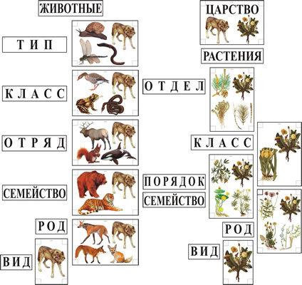 Фотография товара: Модель-аппликация Классификация растений и животных.