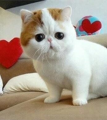 Кто знает какая это порода кошки