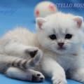 Британская короткошёрстная.  Британские шиншиллы котята, окрас редкий.