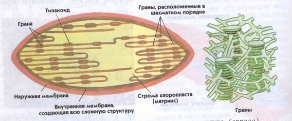 Органели в клытинах грибыв