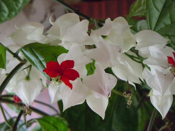 Женский каприз цветок