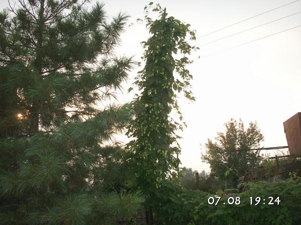 Этот кедр самый маленький растет у