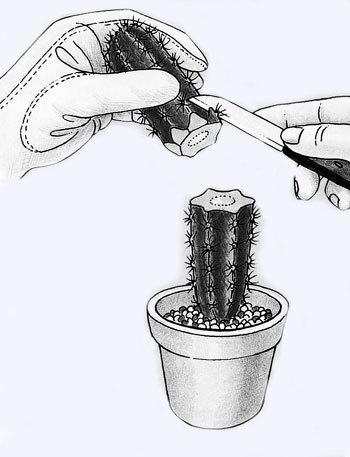 Однако кактусы размножаются черенками легко.  Срезать черенки надо остро заточенным, чистым, сухим ножом.
