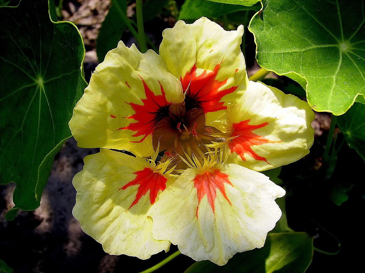 Цветы настурция картинки 3