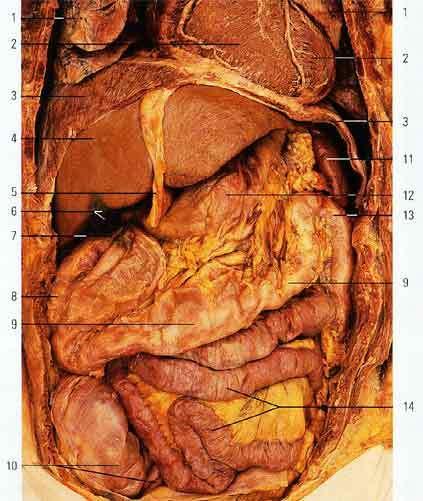 Анатомия Человека Внутренние