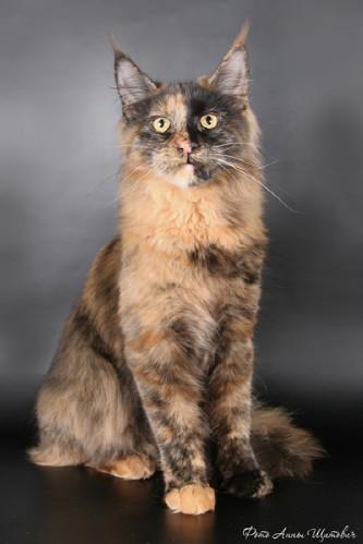 Мейн -кун котята
