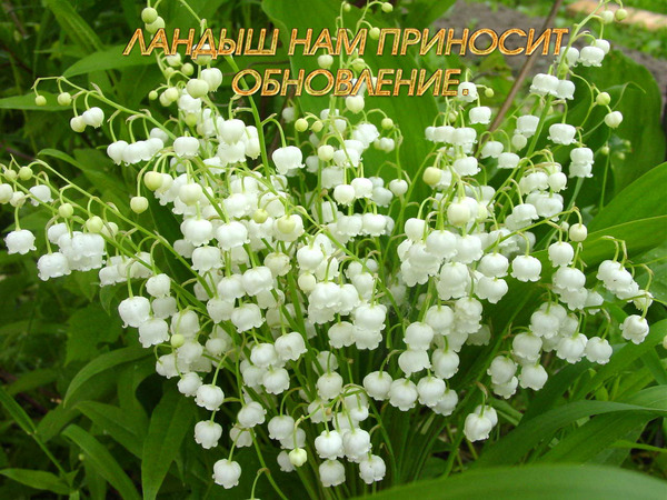 Lily-of-the-Valley 1.