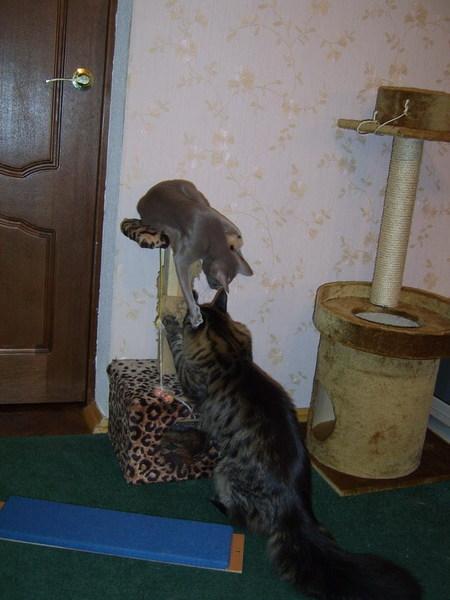 Когда перестают беситься коты