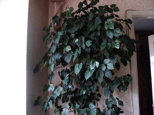Ктенанта — крокодиловый лист. Растения, в зависимости от сорта, могут достигать в высоту от 60 см до 1 м. Основное достоинство растений этого.