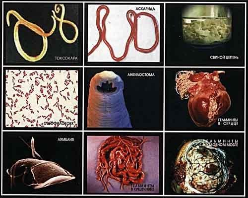 Wie aller Würmer im Organismus zu töten