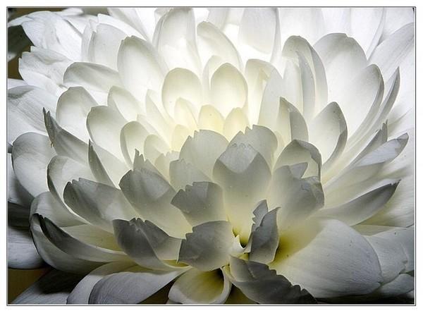 Сайгё.  С белою хризантемой.  Ни один не сравнится цветок.  MORE.
