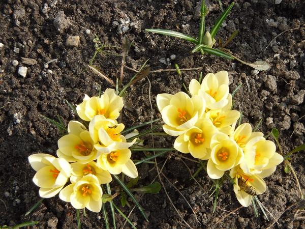 Выгонка тюльпанов в домашних условиях к 8 Марта 93