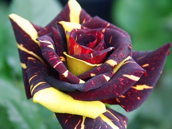 Роза патио.  Великолепная окраска, каждый бутон неповторим - тёмные лепестки...