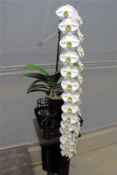 Ответы@Mail.Ru: Реанимация орхидеи: http://otvet.mail.ru/question/76825815