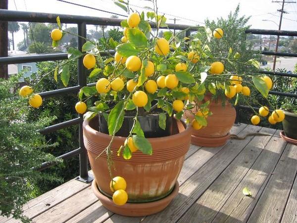 Лимон выращивание домашних условиях