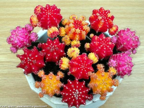 Цвета кактусов