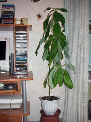 Авокадо дома