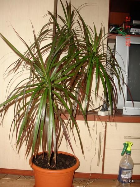 Уход за драценой деревом в домашних условиях