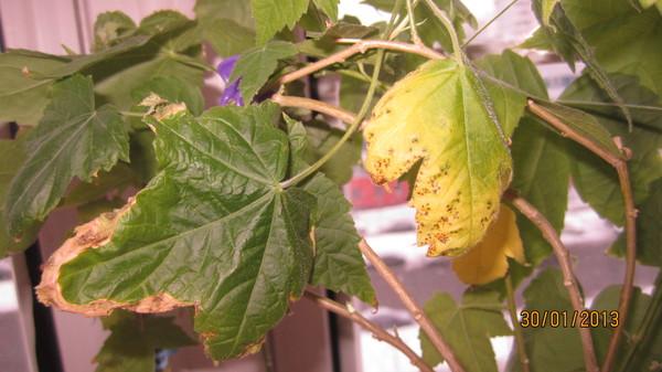 Почему у абутилона желтеют листья