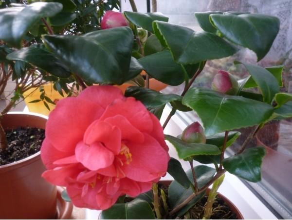 Камелия уход и выращивание в домашних условиях видео