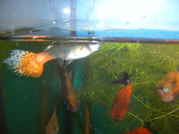 Сколько растут гуппи в аквариуме
