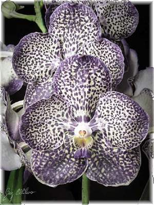 Орхидея цветок аристократов