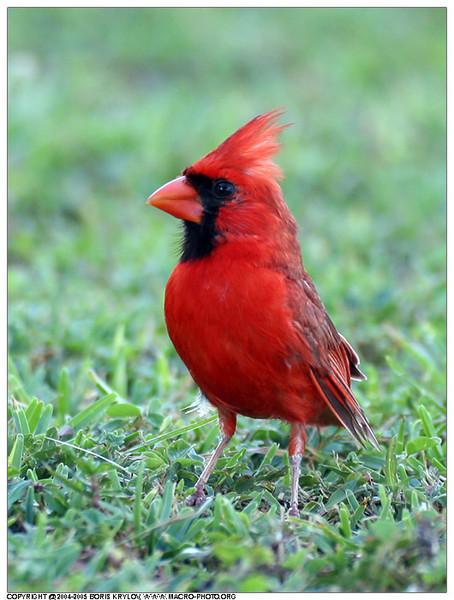 Вот такие у нас красавцы птички летают