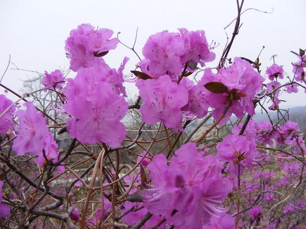 Рододендроны, азалии, вересковые - Страница 2 I-724