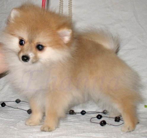 Собака маленькой породы похожая на