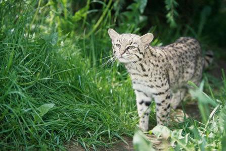 Что за животное дикий кот Жоффруа?