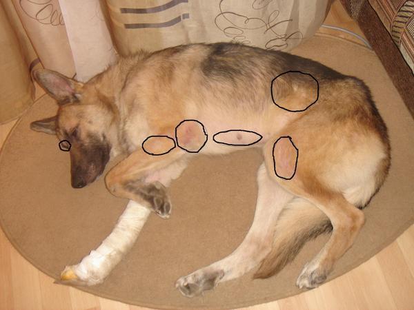Почему собака или щенок чешется но блох нет
