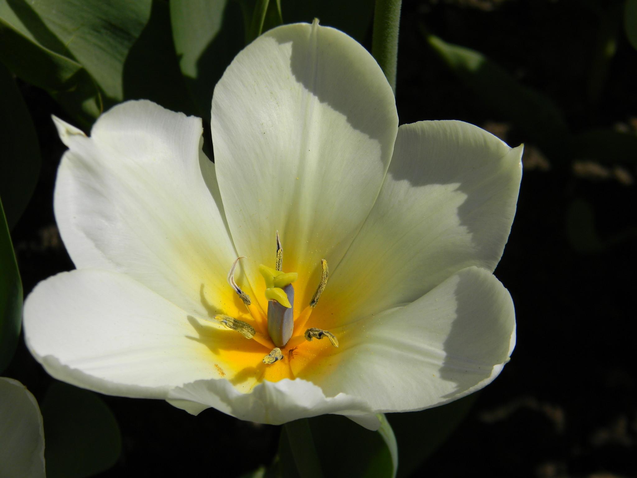 Тюльпан (Túlipa)