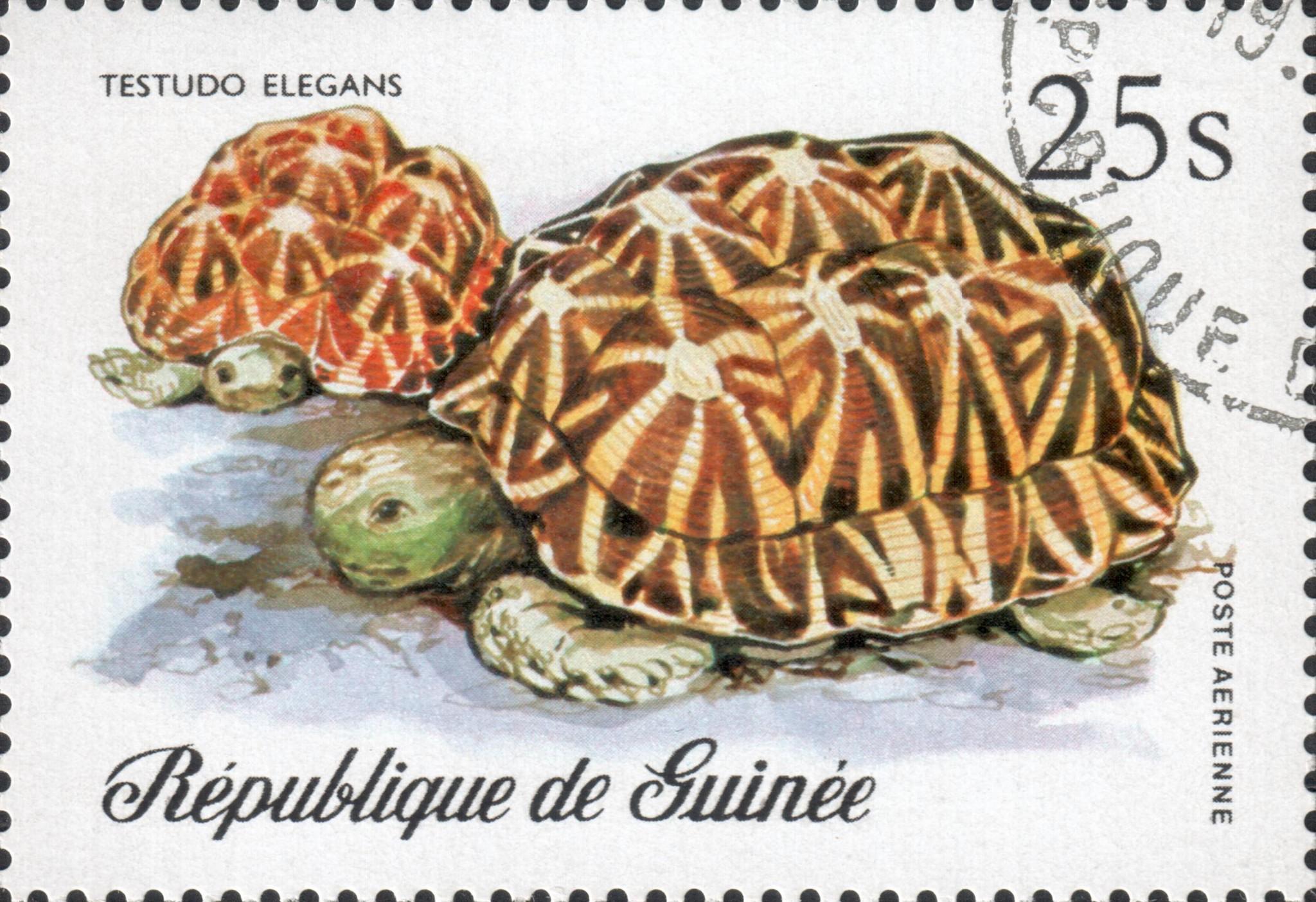 Звёздчатая черепаха (Testudo elegans)