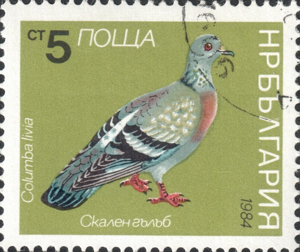 Сизый голубь (Columba livia)