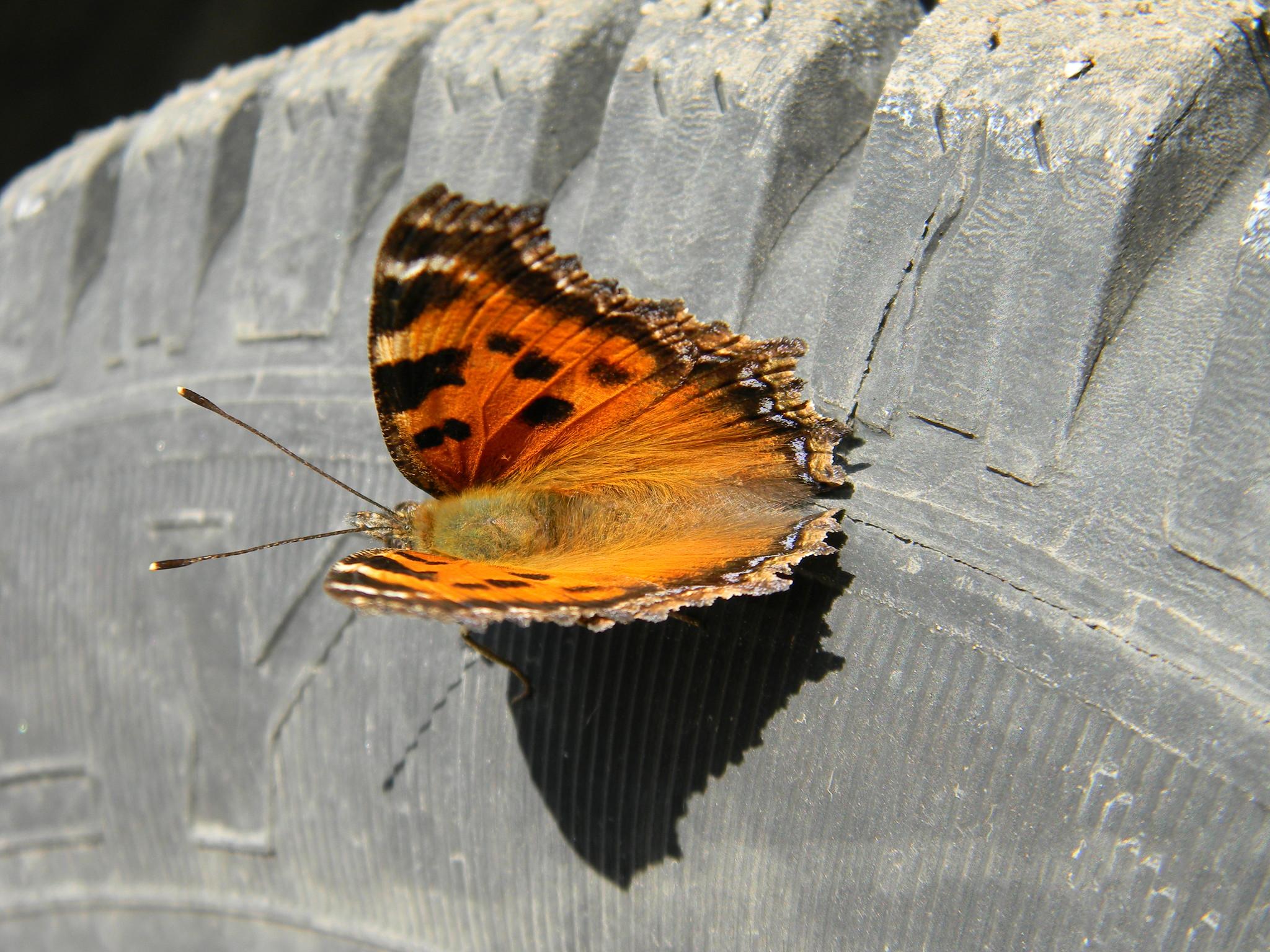 Многоцветница восточная (Nymphalis xanthomelas)