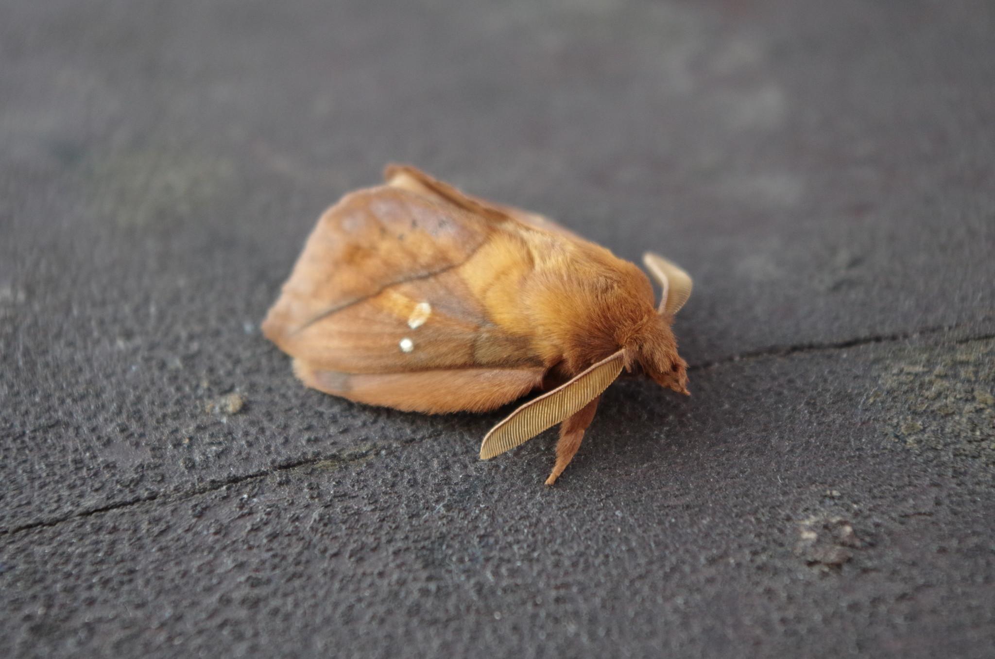 Шелкопряд травяной (Euthrix potatoria)