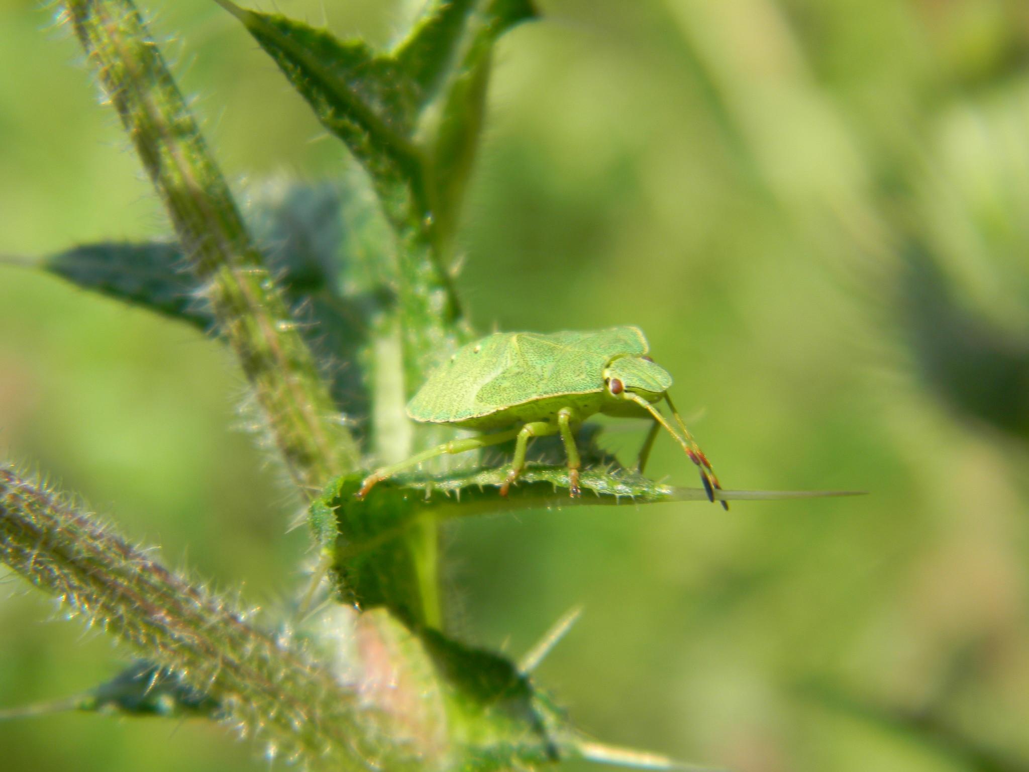 Нимфа клопа щитника зелёного