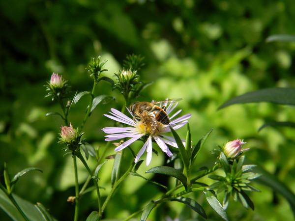 Пчеловидка рощевая