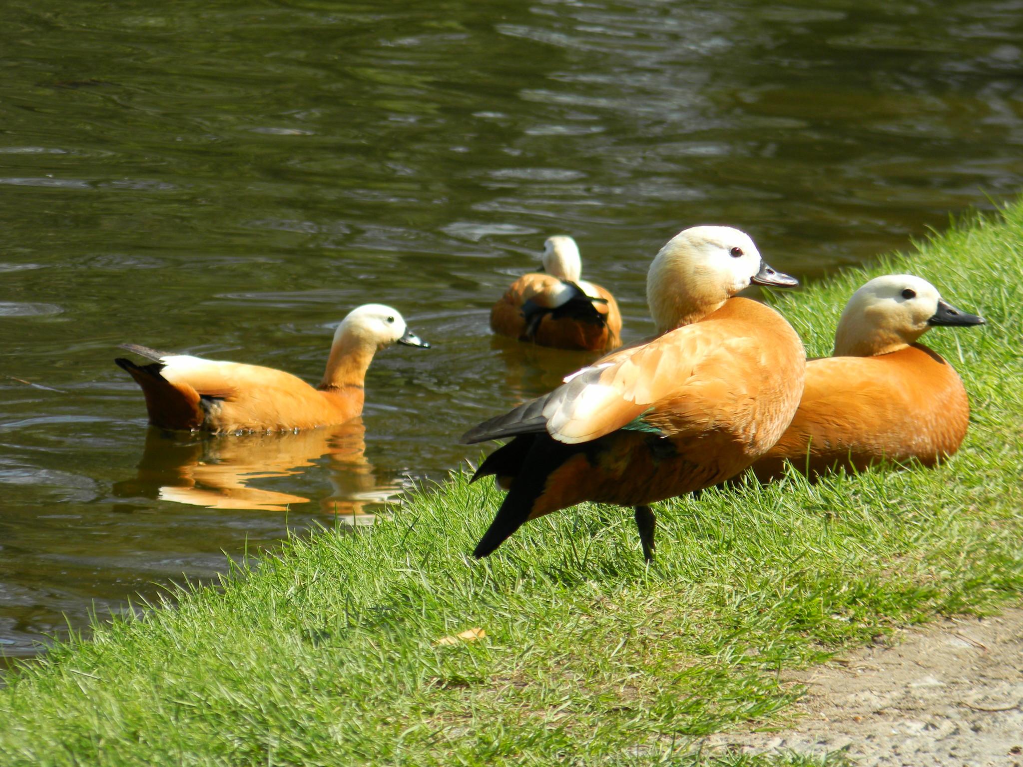 Огарь, или красная утка (Tadorna ferruginea)