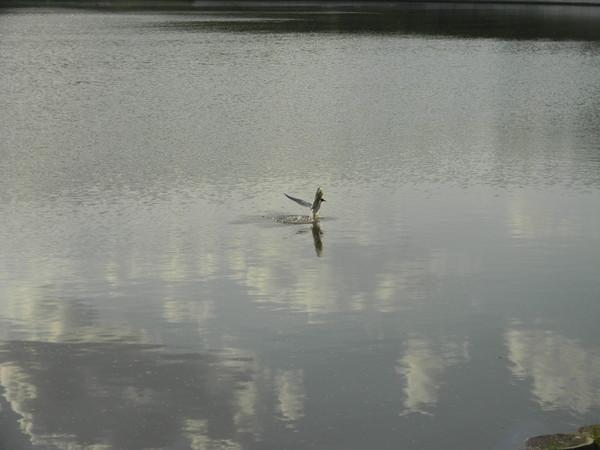 Чайка приводнилась