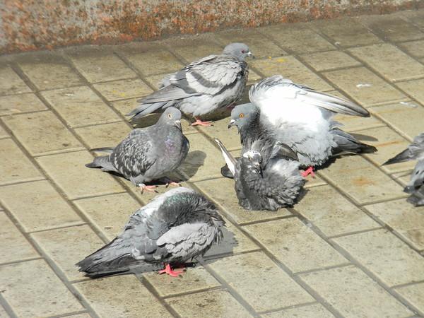 Купание голубей в весенний день