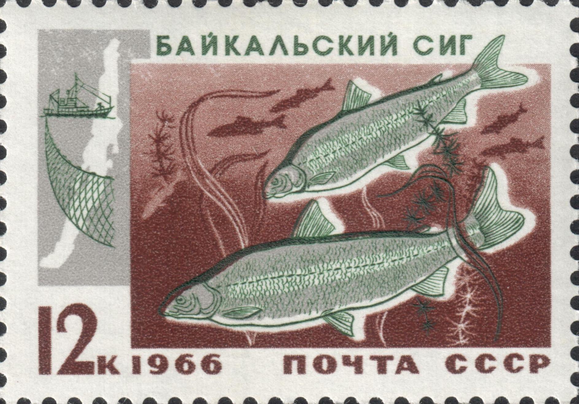 Байкальский сиг