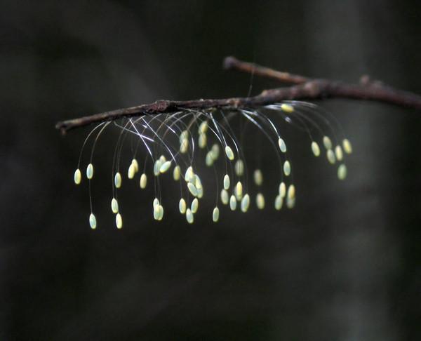 Картинки по запросу цветок удумбара